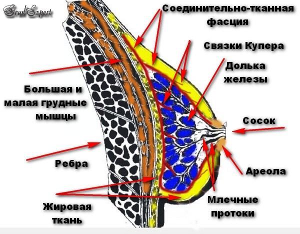 Структура молочной железы